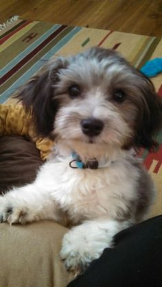Havanese Haircuts for Faces | My havanese, Mr Bojangles | Paws and Claws | Pinterest