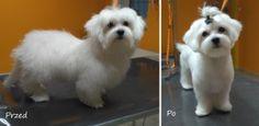 Lucy maltańczyk psi fryzjer Wrocław Salonik Psia Minka
