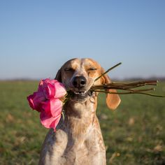 Maddie the Coonhound - Dogs Gone Viral Dog Lover Gifts, Dog Lovers, I Love Dogs, Cute Dogs, English Coonhound, Mans Best Friend, Dog Life, Animal Photography, Dachshund