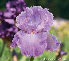 Italic Light | Tall Bearded Iris