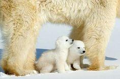 Baby polar bears too cute!