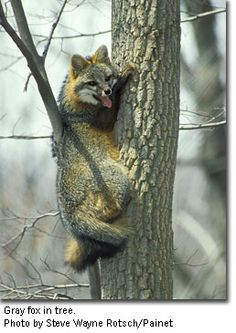 Photo of gray fox in tree by Steve Wayne Rotsch/Painet