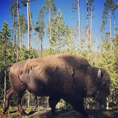 "57 Likes, 2 Comments - @anthropology on Instagram: ""Just another day in #Yellowstone #nationalpark #wildlife #bison #wilderness #yellowstonenationalpark"""