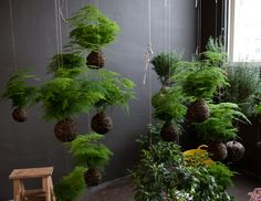 """massed fern kokedama. Most of the ones on this site don't seem to be using moss to cover the ball, therefore technically string gardens rather than kokedama (translates as moss ball)"""