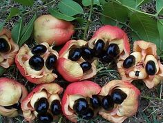 Ackee, Jamaica's national Fruit