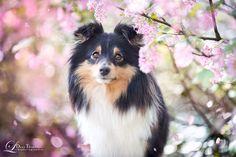 Spring Sheltie by Dana Thimel - 500px