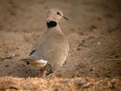 Vinaceous Dove (Streptopelia vinacea) Saly, Senegal - Feb 17, 2004 © Alain Fossé