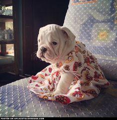 English Bulldog puppy in a cute little dress.
