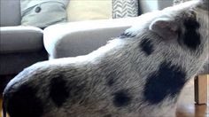 How to Train Your Mini Pig: Turn Around and Wave!