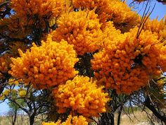 Nuytsia floribunda -