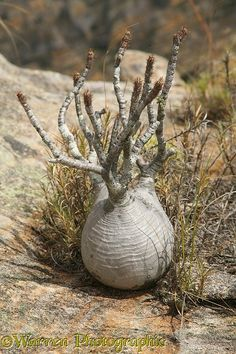 Photograph of Elephant's Foot Plant (Pachypodium lameri), Madagascar. Weird Plants, Unusual Plants, Rare Plants, Exotic Plants, Cool Plants, Cacti And Succulents, Planting Succulents, Cactus Plants, Planting Flowers