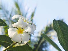 2018年7月10日(火)バリ島ウブドのお天気は曇り。室内温度26.4℃、湿度70%。空に向かって美しく咲くプルメリア!南国にピッタリなお花。この白いプルメリアはカンボジャと呼ばれています。 #今日も良い日になりますように #バリ島 #ウブド #プルメリア #白 #南国 #フラワー