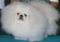 Windemere Pekingese - Our White Past Champions