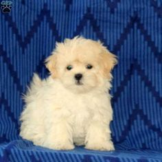 Shichon puppies, Dogs and So cute on Pinterest