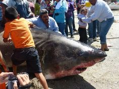 The sea of cortez has some of the biggest sharks in the world, this one is one of the largest ever found
