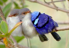Male Splendid Fairy wren with two females.  These lovely birds are in Australia.