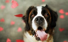 st bernard wallpaper | Bookmarked by: epaaeiz /