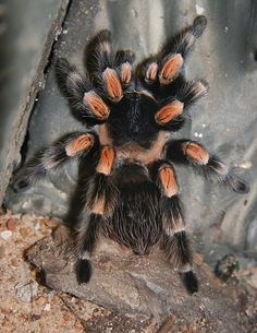 "Mexican Red-kneed Tarantula (Brachypelma smithi)...so it is nt an ""animal"" h well it is going here"