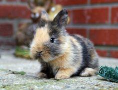 Calico dwarf rabbit.[I want one!!]