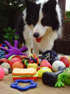 Scientists presented Gable, a five year old Border Collie, with a number of similar choices. They found that after a brief training period, Gable learned to associate the name of an object with its size, identifying other objects of similar size by the same name. After a longer period of exposure to both a name and an object, the dog learned to associate a word to other objects of similar textures, but not to objects of similar shape.