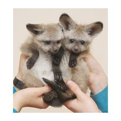 A Face Any Mother Would Love ZooBorns ❤ liked on Polyvore featuring animals and fox
