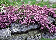 SAPONARIA ocymoides - Sæbeurt, farve: mørk rosa/duftende, lysforhold: sol, højde: 20 cm, blomstring: juni - juli, god til bier og andre insekter.