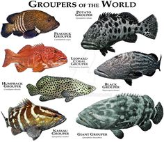Fine art illustration of various species of Grouper. Groupers of the World Fish Chart, Grouper Fish, Fauna Marina, Oceans Of The World, Marine Biology, Ocean Creatures, Saltwater Fishing, Saltwater Tank, Saltwater Aquarium