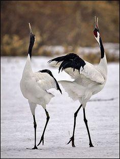 Red-crowned crane, John Isaac