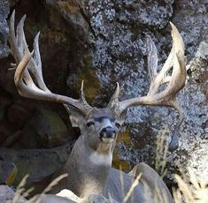 Responsible hunting, game management and wildlife conservation are important aspects of any wild game hunting, but many find the challenge of deer hunting to be the most challenging. Here are some ideas and deer hunting tips to make y Mule Deer Hunting, Moose Deer, Quail Hunting, Deer Hunting Tips, Mule Deer Buck, Turkey Hunting, Bow Hunting, Deer Rut, Whitetail Deer Pictures