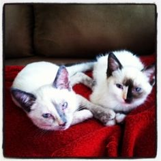 Adopt Violet And Wisteria On Pet Finder Siamese Cats Cats