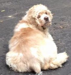 Lost Dog - Cocker Spaniel in HAUPPAUGE, NY     	 Pet Name:	Sandy   (ID# 109819) Gender:	Female Breed:	Cocker Spaniel Color:	Tan/Cream Color 2:	White Pet Size:	Medium (20-39lbs) Pet Age:	12 years Date Lost:	10/13/2015 Zip Code:	11788 (HAUPPAUGE, NY) Phone:	(631) 335-1997 See All Lost Dogs In HAUPPAUGE, NY