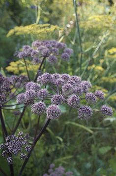 Purple Angelica ( Angelica sylvestris 'Vicar's Mead') and bronze fennel ( Foeniculum vulgar 'Purpureum') reseeding themselves spontaneously in the same place giving splendid mixture of umbels. I would not dare, fortunately nature has done!