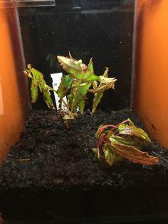 Livraison de #bégonias rares d' Araflora; exotic plants & supplies bien arrivée http://www.pariscotejardin.fr/2015/08/livraison-de-begonias-rares-daraflora-bien-arrivee/