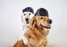 These two are beautiful Cute Puppies, Cute Dogs, Dogs And Puppies, Dogs Golden Retriever, Golden Retrievers, Cutest Puppy Ever, Animals Planet, Dog Lady, Cute Funny Animals