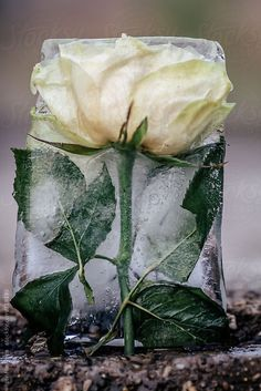 frozen white roses in a ice block by Igor Madjinca - Stocksy United Frozen Love, Frozen In Time, Rose Photography, Still Life Photography, Art Floral, Ice Art, Ice Blocks, Natural Forms, White Roses