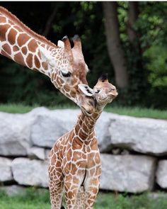 Detroit Zoo, Nature Animals, Beautiful World, Giraffe, Hearts, Felt Giraffe, Giraffes