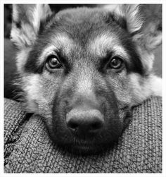 German Shepard:) #http://tinyurl.com/boj2yth Train your dogs in 3 days!