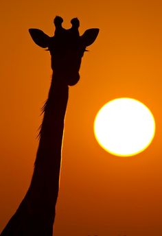 Giraffe with orange sun