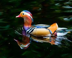 mandarin duck  photo by steve-h