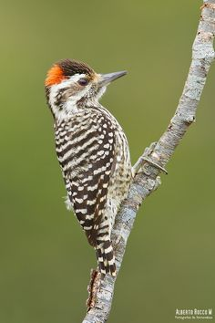 Striped Woodpecker (Veniliornis lignarius) found in the Cordillera Patagonia foothills of South America I Like Birds, Pretty Birds, Small Birds, Beautiful Birds, Wild Animals Pictures, Horse Pictures, Woody Woodpecker, Game Birds, Exotic Birds