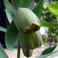 Photos Fritillaria pontica -