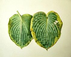 Brigid Edwards    Hosta Leaves    2009   //