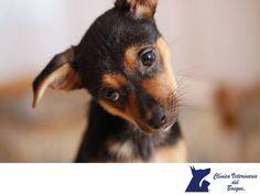 Es importante que les enseñes un buen comportamiento desde cachorros a tus mascotas. LA MEJOR CLÍNICA VETERINARIA DE MÉXICO. Lo primordial es darles tiempo para que se habitúen a su nuevo hogar y recordar que los cachorros reciben mucha información mediante estímulos y  que todo es nuevo para ellos. Hay que ir despacio para que la información no les inunde y acaben realmente cansados. En Clínica Veterinaria del Bosque, recibes la atención de tu mascota. www.veterinariadelbosque.com
