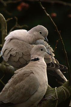 IMG_6374 Love birds :) Turkse Tortel (Streptopelia...