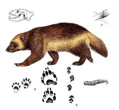 Wolverine, Gulo gulo The Wolverine (Gulo gulo) ranges from northern Europe and… Animal Tracks, Animal Bones, Animal Sketches, Animal Drawings, North American Wolf, Wolverine Tattoo, Wolverine Animal, Honey Badger, Beautiful Wolves