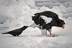 Вороны троллят других животных, дергая их за хвосты • НОВОСТИ В ФОТОГРАФИЯХ