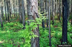 Lygodiaceae: Lygopodium japonicum - Japanese climbing fern, was added to the Florida Noxious Weed List in 1999, causing problems in pine plantations. Lygodiaceae-ferns are unusual in that the rachis, or midrib, of the frond is thin, flexible, and long, the frond unrolling with indeterminate growth and the rachis twining around supports, so that each frond forms a distinct vine.