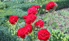 The rose gave Rosenborg its name and its beautiful settings. Copyright: Rosenborg Castle / Rosenborg Slot
