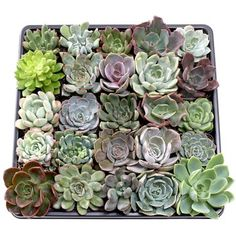 Shop for MCG Echeveria Tray - Containers - 25 Varieties Get free delivery On EVERYTHING* Overstock - Your Online Flowers & Plants Outlet Store! Succulent Potting Mix, Succulent Care, Succulent Plants, Blue Plants, Cool Plants, 16th Birthday Gifts, Birthday Gifts For Girls, Best Gifts For Her, Gifts For New Moms