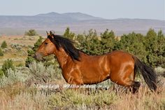 Kiger stallion released after last roundup